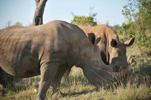 planetafryca-rhinos